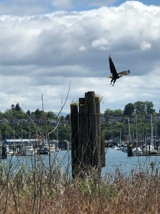 Wildlife all around us, a Bald Eagle