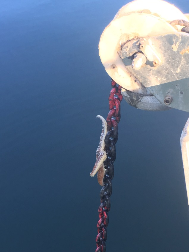 A Starfish Stow-away on our anchor chain